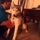 Siberi Husky peale kanepikoogi söömist