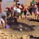 Kümned inimesed teevad koostööd, et mõrtsukhai saaks tagasi liivalt vette