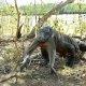Vaata, kuidas komodo draakon neelab alla üsna suure ahvi… jep.. ahvi..