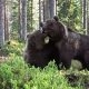 Kaks pruunkaru satuvad Soome metsas vastamisi – sinna vahele küll ei tahaks jääda!
